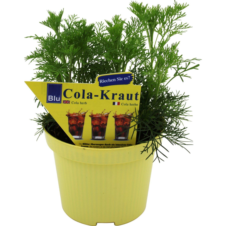 Coca-Cola-Strauch Topf-Ø ca. 12 cm Artemisia kaufen bei OBI