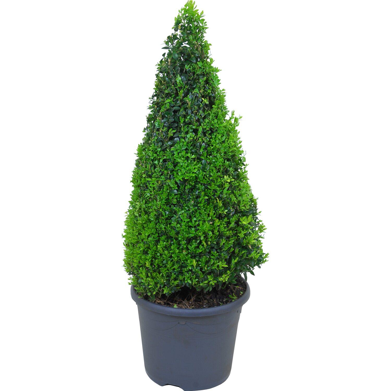 buchsbaum pyramide topf ca 7 5 l h he ca 60 70 cm buxus sempervirens kaufen bei obi. Black Bedroom Furniture Sets. Home Design Ideas