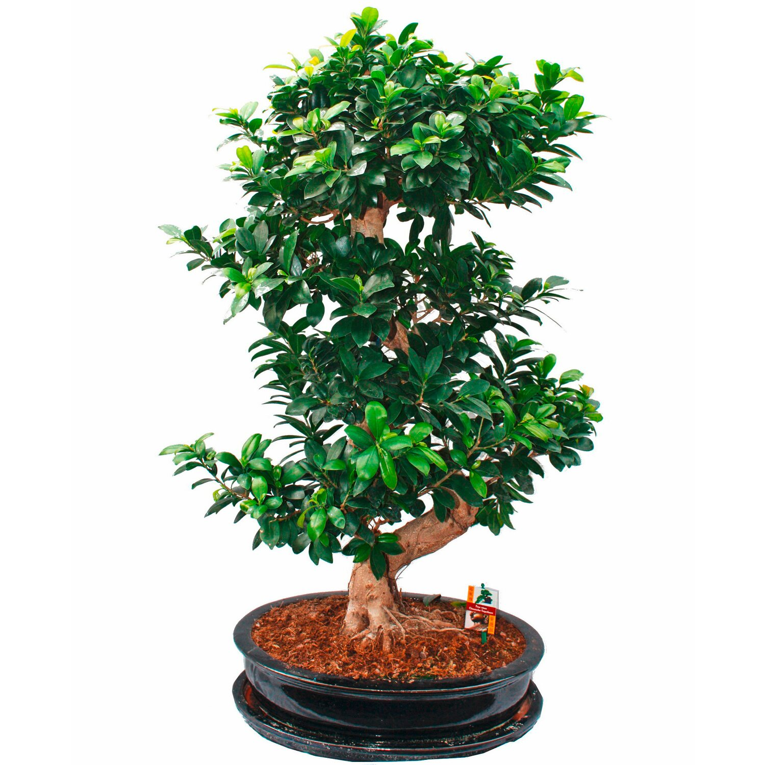 bonsai thai ficus topf ca 45 cm kaufen bei obi. Black Bedroom Furniture Sets. Home Design Ideas