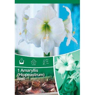 Amaryllis Weiss Kaufen Bei Obi