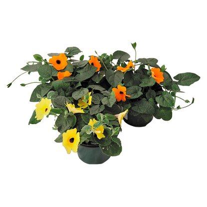 schwarz ugige susanne farbmix topf ca 13 cm thunbergia. Black Bedroom Furniture Sets. Home Design Ideas