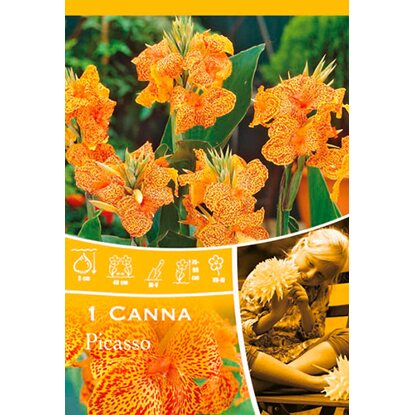 "Canna ""Picasso"" Gelb-Rot"