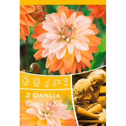 "Dahlien ""Coupe de Soleil"" Orange"