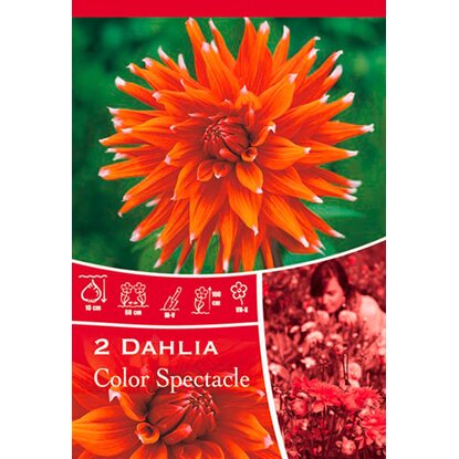"Dahlien ""Color Spectacle"" Rot-Weiss"