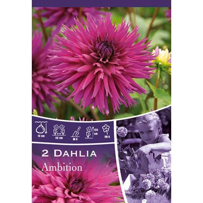 "Dahlien ""Ambition"" Purple"