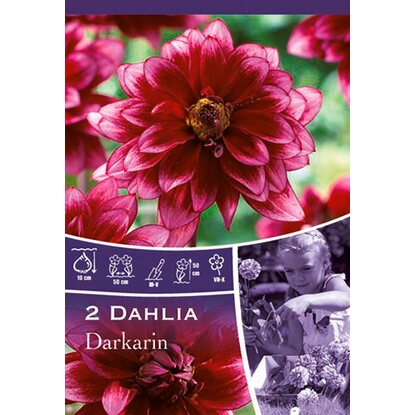 "Dahlien ""Darkarin"" Purple"