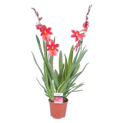 "Cambria Orchidee ""Nelly Isler"" 2 Trieber Rot"