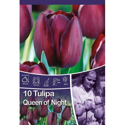 "Einfache späte Tulpe ""Queen of Night"""