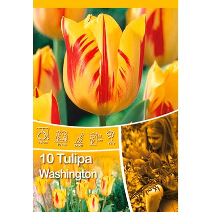 "Triumph Tulpe ""Washington"""