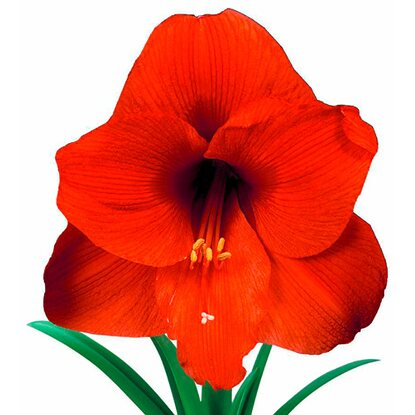 Amaryllis im Keramik Topf Orange Souvereign
