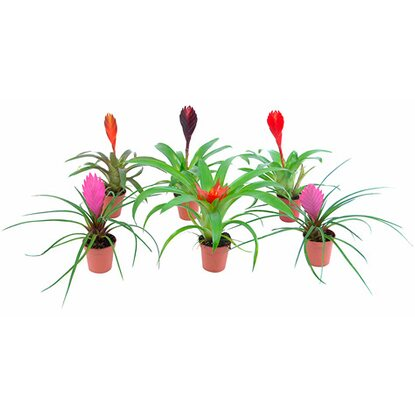 Bromelia Mini Mix Topf 5,5 cm