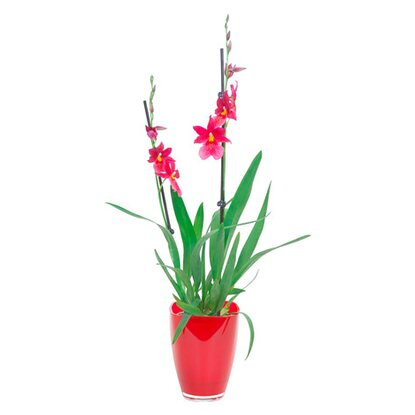 "Cambria Orchidee ""Nelly Isler"" 2 Trieber Rot im Glas"