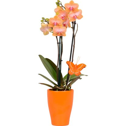 Schmetterlings Orchidee 2 Trieber Orange im Gefäss