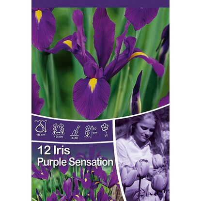 "Schwertlilie Iris ""Purple Sensation"""