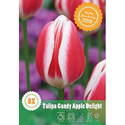 "Darwin Hybrid Tulpe ""Candy Apple Delight"""