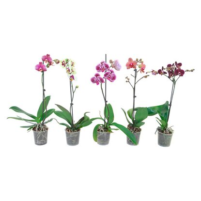 "Schmetterlings Orchidee ""Taiwan"" 1 Trieber"
