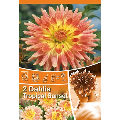 "Dahlien ""Sunset Tropical"" Orange"