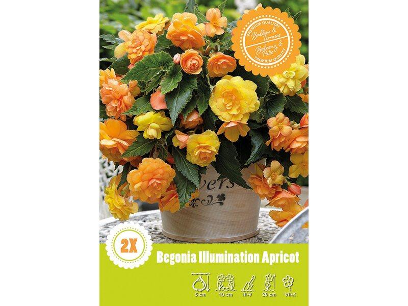 begonien apricot aprikose kaufen bei obi. Black Bedroom Furniture Sets. Home Design Ideas
