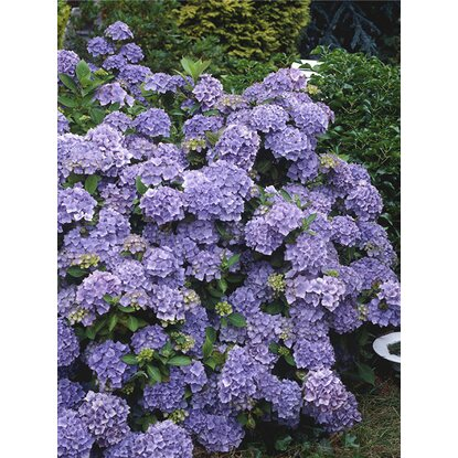 "Gartenhortensie ""Black Diamonds"" Blau Container ca. 5 l"