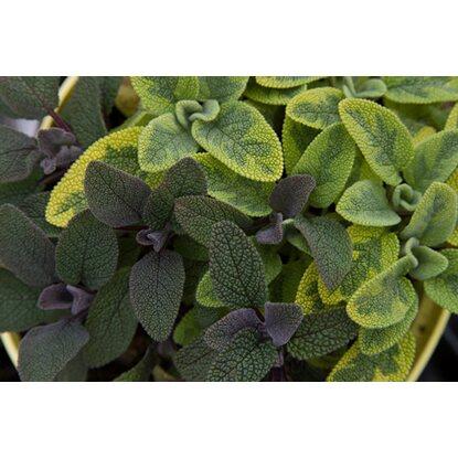 Garten salbei weiss topf ca 12 cm salvia kaufen bei obi - Wandfarbe salbei kaufen ...