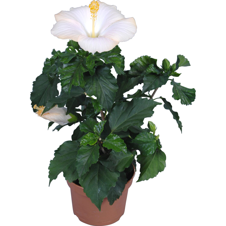 roseneibisch fiori grance mix topf ca 13 cm hibiscus rosa sinensis kaufen bei obi. Black Bedroom Furniture Sets. Home Design Ideas