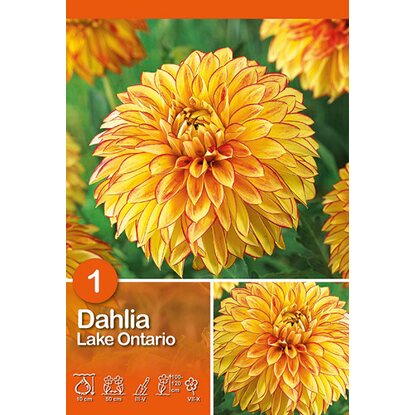"Dahlien ""Lake Ontario"" Gelb-Orange"