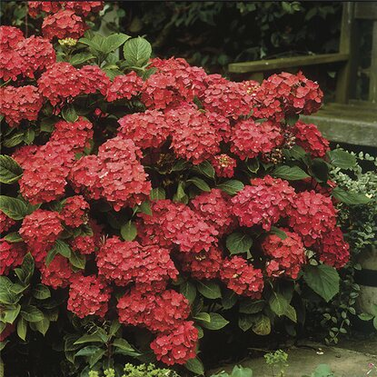 "Gartenhortensie ""Black Diamonds"" Rot Container ca. 5 l"